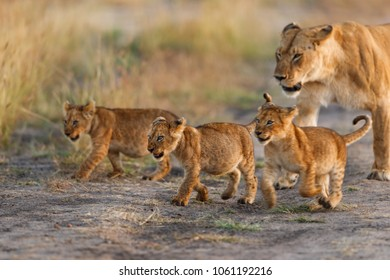 Lion cubs of Nomand Pride in Masai Mara, Kenya