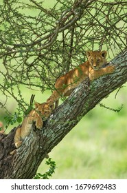 Lion Cubs in om a branch Tanzania