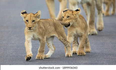 lion cubs on the move in Kruger