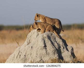 Lion Cubs on Termite Mound, Savuti, Botswana