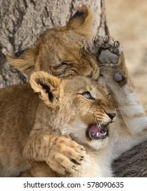 Lion cubs play fighting, Serengeti National Park, Tanzania.
