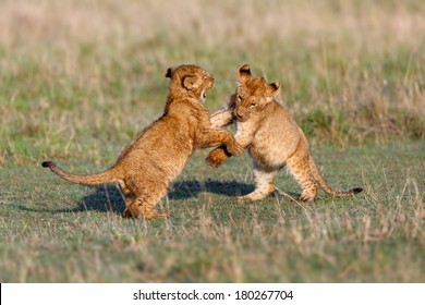 Lion cubs playing after a good breakfast in Masai Mara, Kenya