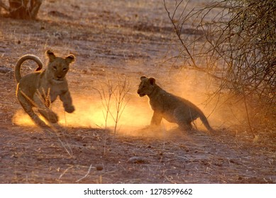 Lion cubs playing in the dust at dawn, in Chobe National Park, Botswana