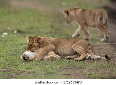 Lion cubs playing at Masai Mara, Kenya