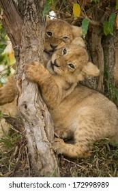 Lion cubs playing. Masai Mara, Kenya