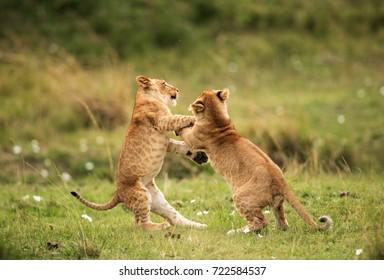 Lion cubs playing, Masai Mara