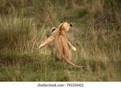 Lion cubs pushing each other, Masai Mara
