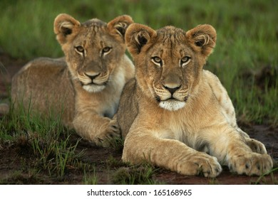 Lion Cubs in a row