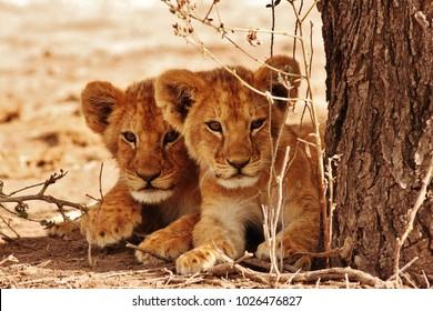 Lion cubs Serengeti