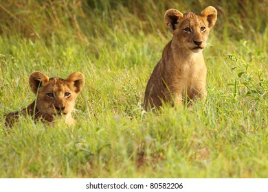 Lion cubs in short green grass