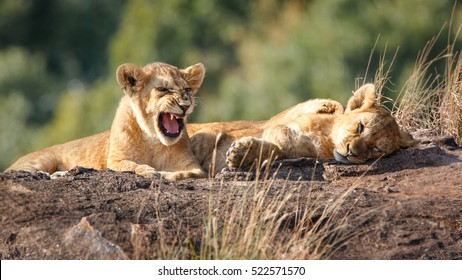 Lion cubs sitting on a rock in Masai Mara, Kenya
