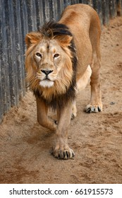 Lion with dangerous look walking near to wall
