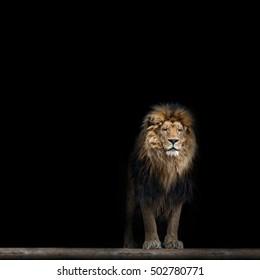 Lion in the dark