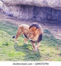 A lion in it's den