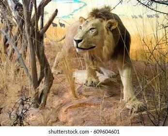 Lion diorama in museum