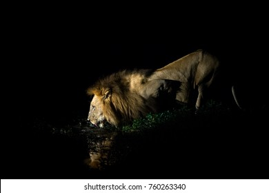 Lion drinking, Kruger National Park, South Africa