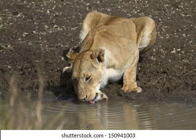 lion drinking water in waterhole