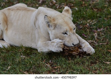 Lion eating a piece of meat