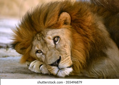 Lion face with beauty hair of male animal
