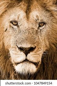 Lion Face Portrait