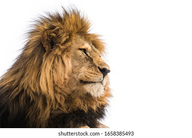 Lion face. Wild african lion looking forward