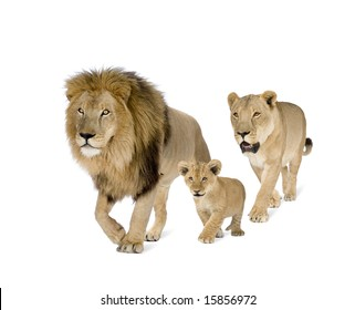 Lion family in front of a white background