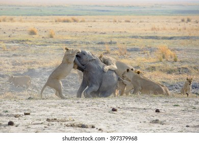 Lion family kill and eat a baby elephant