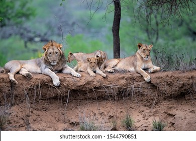 Lion family resting on the dry riverbank of the Mkuze river in a Game Reserve in Kwa Zulu Natal in South Africa