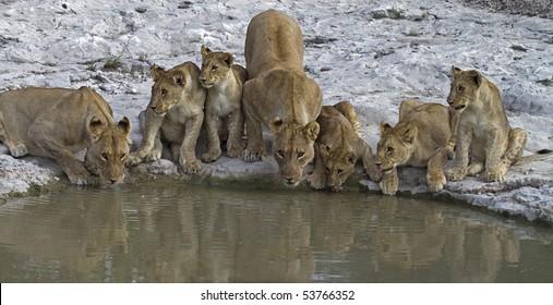 Lion family at waterhole; Panthera leo