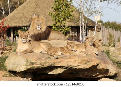 Lion family (zoo)