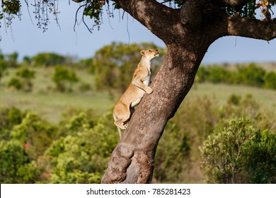 Lion female of Black Stones Pride climbing on a tree in Masai Mara, Kenya
