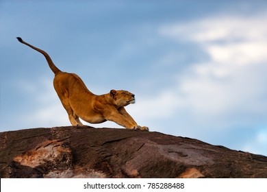 Lion female stretches on the Sand River Stones in Masai Mara, Kenya