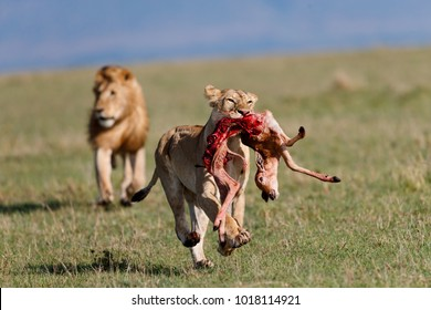 Lion female with a topi kill followed by a lion who is hungry in Masai Mara, Kenya