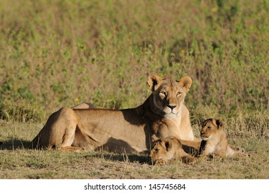 Lion female with young cubs, Masai Mara, Kenya