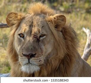 Lion with fight scars Zimbabwe