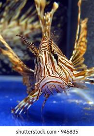 Lion fish in aquarium