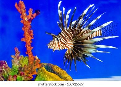 Lion fish  in aquarium with blue background