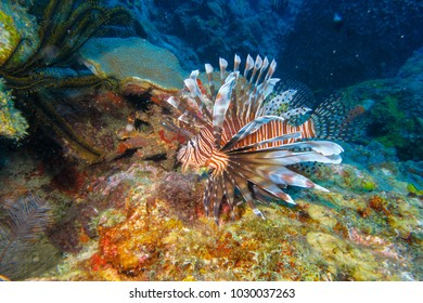 Lion fish in the Caribbean