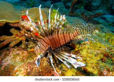 Lion fish in the Caribbean.  A poisonous and invasive reef predator.