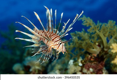 lion fish. Exotic tropical fish. Wonderful and beautiful underwater world with corals and tropical fish. Photo of a tropical Fish on a coral reef