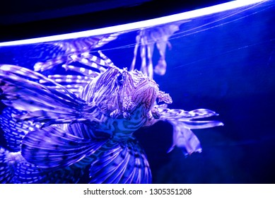 Lion Fish in a fishtank, in an aquarium of Mexico City.