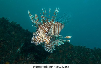 Lion Fish, HMAS Brisbane Wreck Sunshine Coast Australia