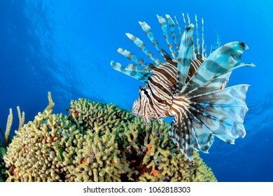 Lion Fish hovering coral with blue background