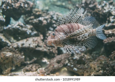 Lion fish hunting among coral reefs. Colorful tropical sea life. Underwater photography. Travel inspiration. Sea ocean wildlife wallpaper.