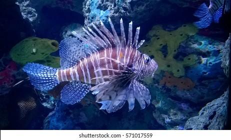 Lion fish near coral
