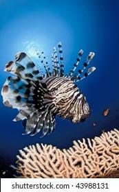 Lion fish, Reef, red Sea, south Sinai, Egypt