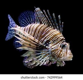 lion fish side black background