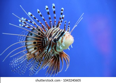 Lion fish with spines