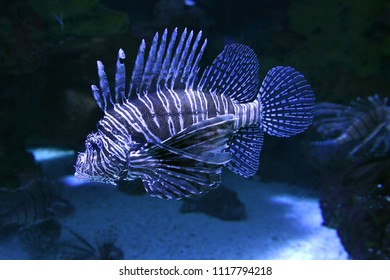 Lion Fish swimming between coral