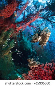 Lion fishes hunting among coral reefs.